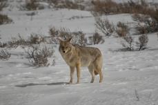 Wolf Yellowstone Montana 2017